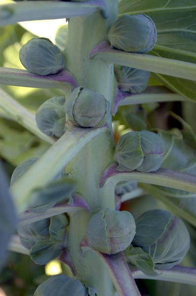Brassica oleracea var. gemmifera (brussels sprouts)