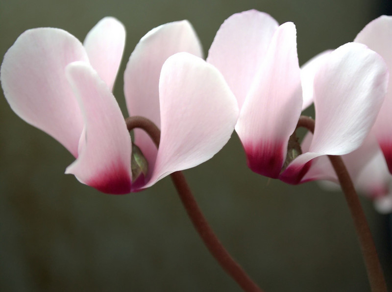 Cyclamen, pink and maroon
