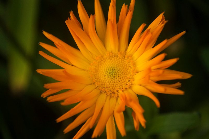 Calendula officinalis 'Radio'