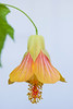 Abutilon (flowering maple)