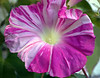 Ipomoea nil. dark pink and white (morning glory)