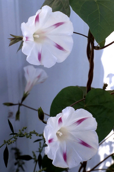 Ipomoea purpurea 'Milky Way' (morning glory)