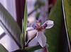 Neomarica gracilis (apostle plant, walking iris)