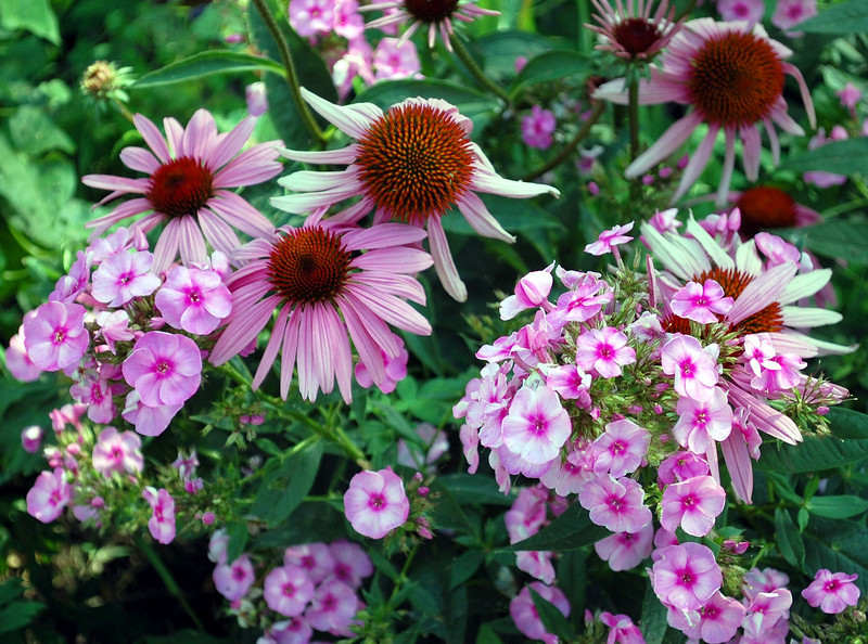 Echinacea purpurea (coneflower) and Phlox paniculata (phlox)