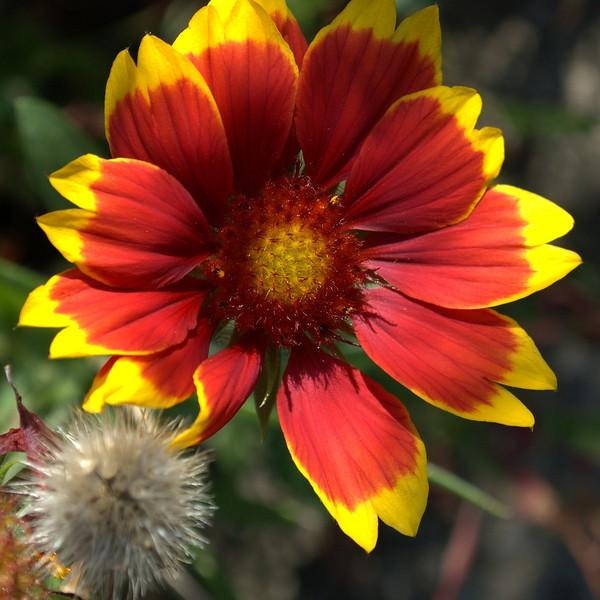 Gaillardia pulchella (Indian blanket)