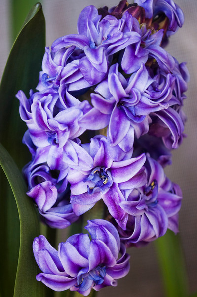 Hyacinthus 'Royal Navy' (hyacinth)