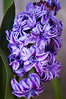 Hyacinthus 'Royal Navy' (hyacinth)