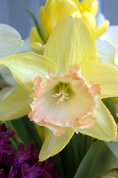 Narcissus 'By George' (daffodil)