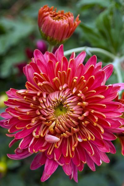 Chrysanthemum (mum), coral