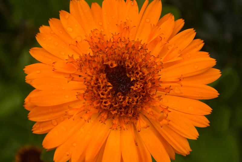 Calendula officinalis 'Kablouna'
