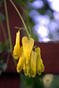 Dicentra scandens 'Athens Yellow'
