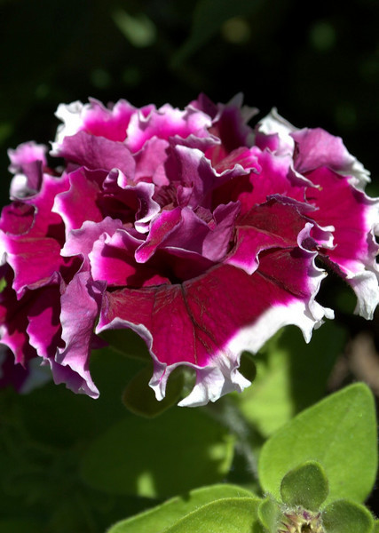Petunia 'Pirouette Purple'