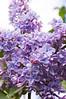 Syringa (lilac), double type