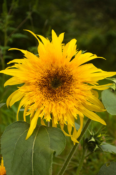 Helianthus annuus (annual sunflower)