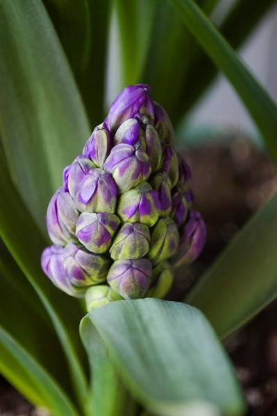 Hyacinthus 'Royal Navy ' bud (hyacinth)