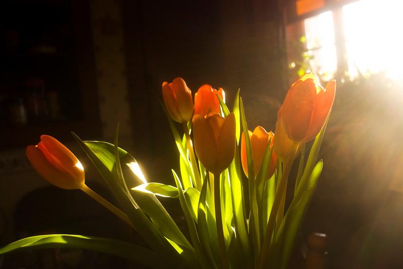 Tulipa (florist tulips)