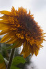 Helianthus annuus  'Tiger's Eye'