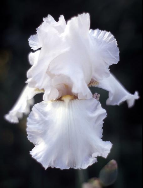 Iris germanica, white (bearded iris)