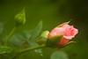 Rosa bud (rose)