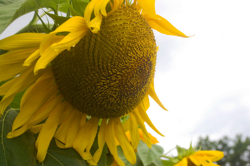 Helianthus annuus 'Mammoth' (sunflower)
