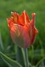 Tulipa (tulip)