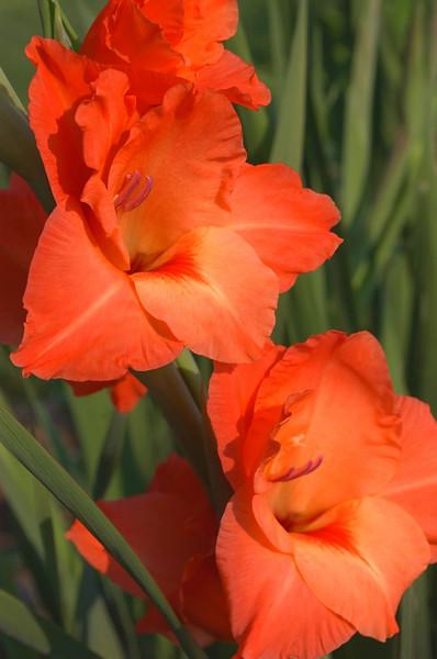 Gladiolus, orange