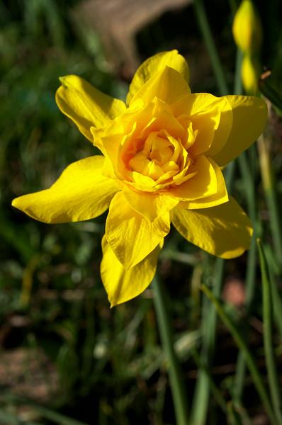 Narcissus odorus flore pleno (double jonquil)