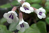 Chirita or Primulina tamiana