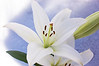 Lilium (lily)