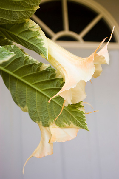 Brugmansia, variegated type (angel's trumpet)