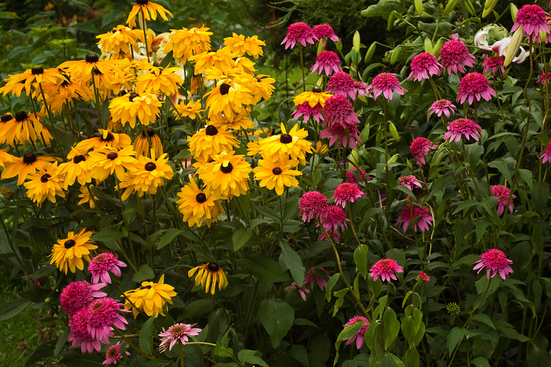 Echinacea purpurea 'Razzmatazz' with rudbeckias (coneflowers and black-eyed Susans)