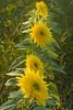 Helianthus (sunflower)