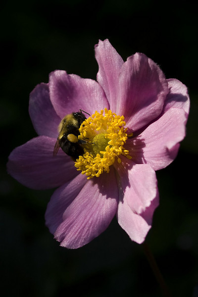 Anemone japonica 'Margarete' (Japanese anemone) with Bombus impatiens (Eastern bumble bee)