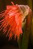 Scadoxus nutans