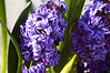 Hyacinthus 'Royal Navy ' (forced hyacinths)