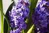 Hyacinthus 'Royal Navy ' (forced hyacinths)