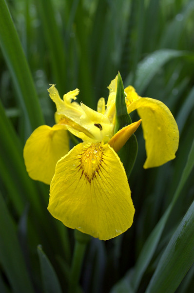 Iris pseudacorus (yellow flag)