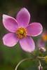 Anemone huphensis