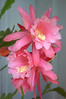Epiphyllum (orchid cactus), pink