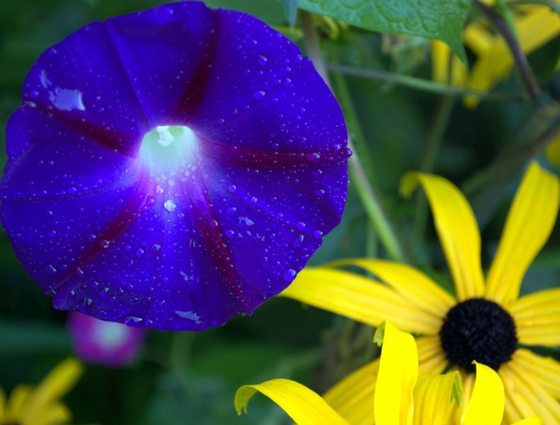 Ipomoea purpurea with Rudbeckia fulgida var. sullivantii 'Goldstrum' (morning glory with black-eyed Susan)
