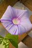 Ipomoea (morning glory)