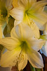 Hippeastrum 'Lemon Star'