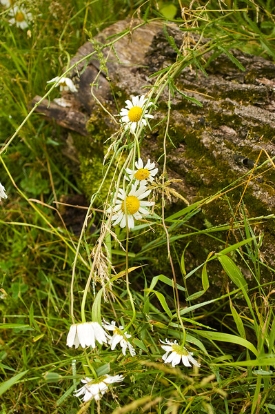 log with daisies