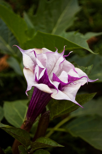 Datura 'Blackberry'