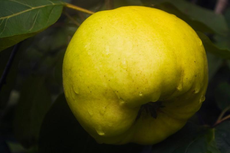 Cydonia oblonga (quince)