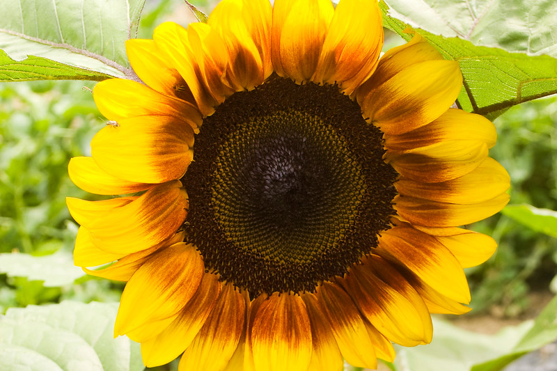 Helianthus annuus 'Procut Bicolor' (sunflower)