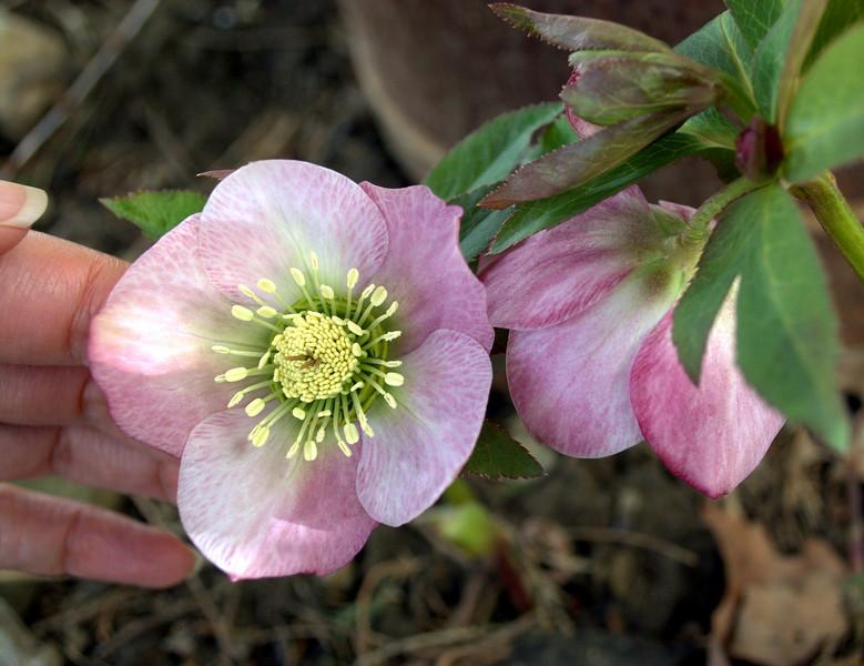 Helleborus orientalis (Easter rose)