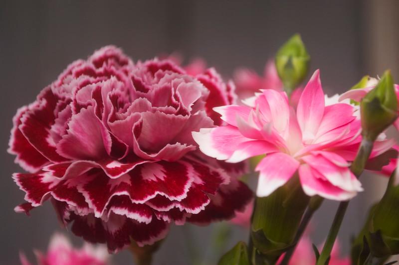 Dianthus caryophyllus (florist's carnations)