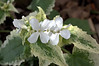 Lunaria annua variegata 'Alba' (variegated honesty, money plant)