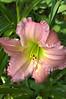 Hemerocallis, ruffled pink (daylily)